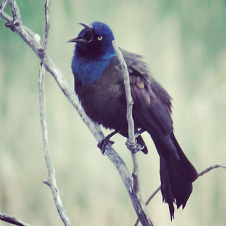 deranged grackle.JPG