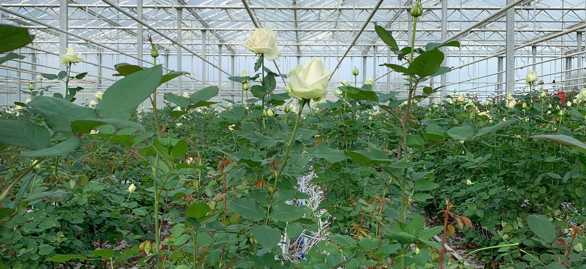 Rose glasshouse 2