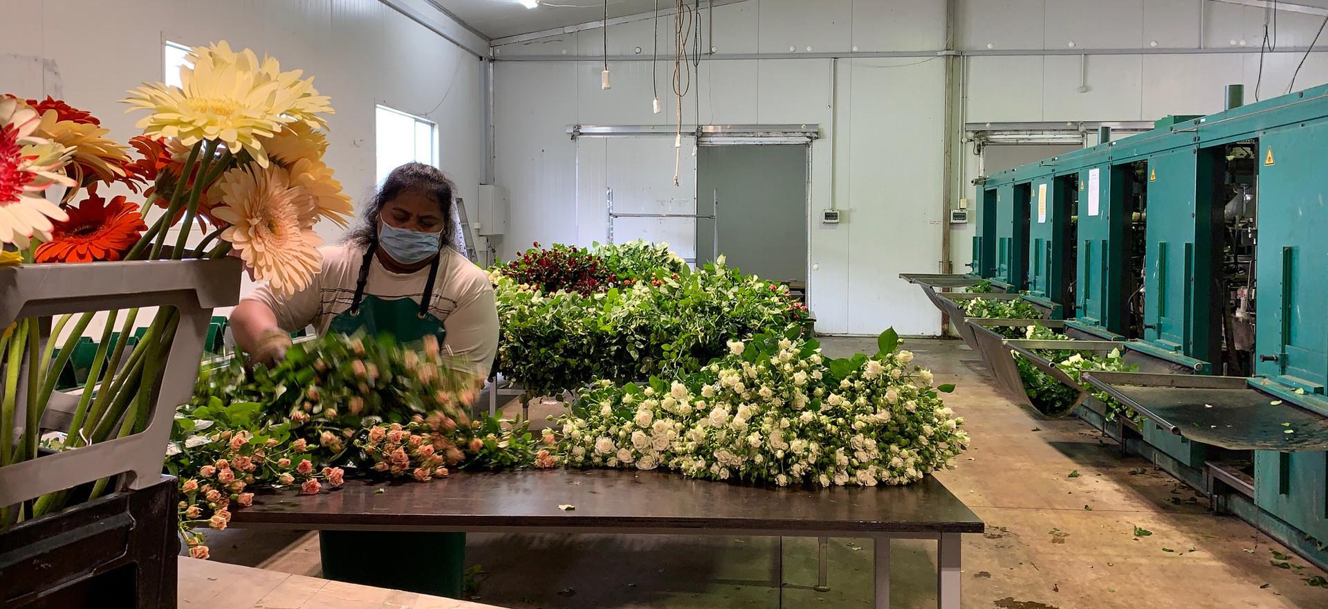Taareta sorting flowers