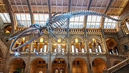 natural-history-museum_hope-the-blue-wha