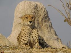 Cheetah at Xini Lagoon
