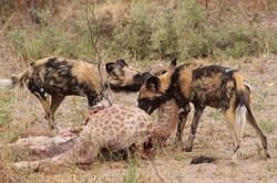 Wild dogs at a killing scene