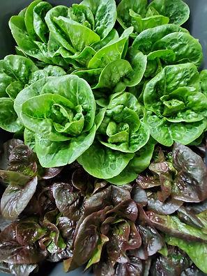 SFCC Lettuce Closeup in a Bin.jpg