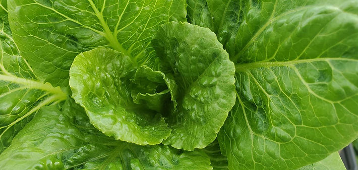 Lettuce romaine close up.jpg