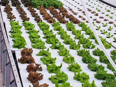 Lettuce Feed You!