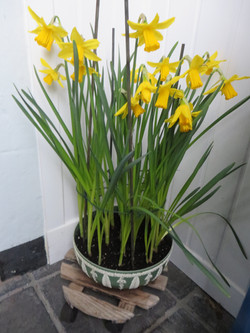Elspeth's bowl of daffodils - February Goldary G
