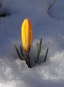 Anna - Crocus delight peeping through the snow