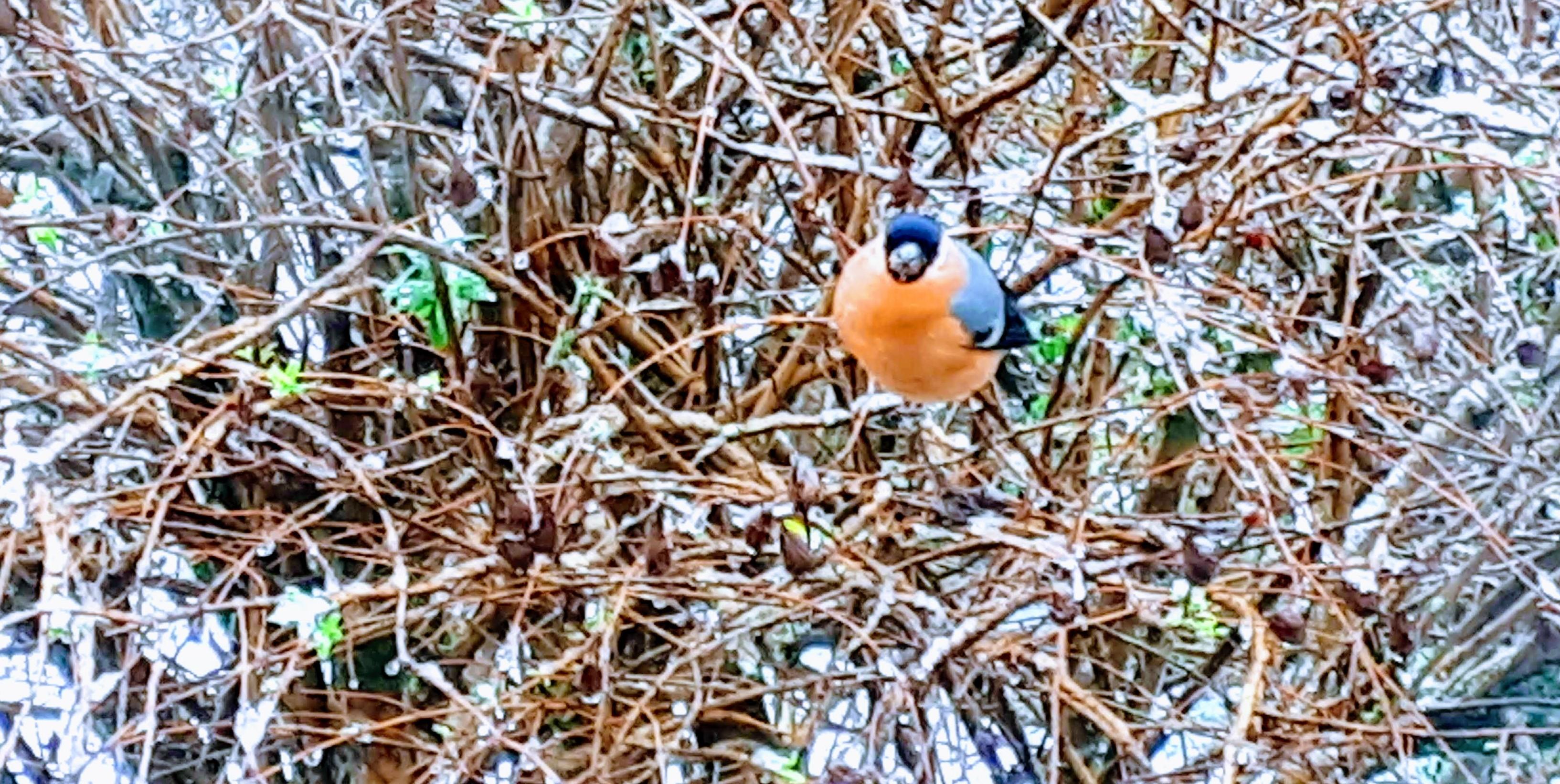 Gordon-winter visitor