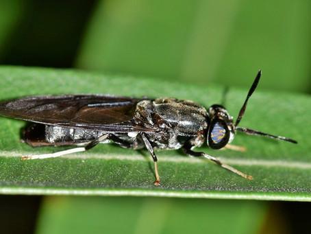 Ini 7 Keuntungan Maggot Black Soldier Fly untuk Pakan Ternak