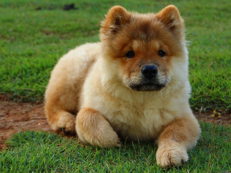 Dibalik Tingkah Lucunya, Inilah Sekilas Tentang Anjing Chow Chow Yang Tak Banyak Orang Tahu!