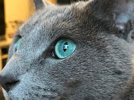 Mengulik Sejarah dan Keunikan Kucing Russian Blue