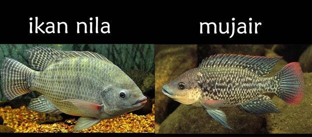 7 Perbedaan Ikan Nila Dan Mujair Yang Paling Mudah Dikenali