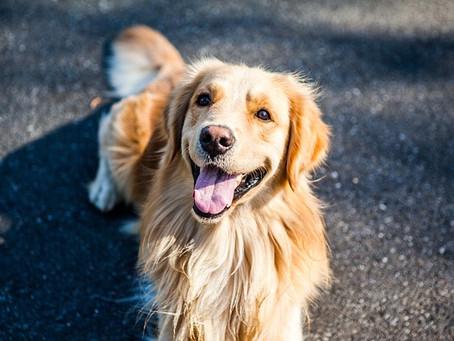 Mengenal Si Rambut Lebat, Anjing Golden Retriever