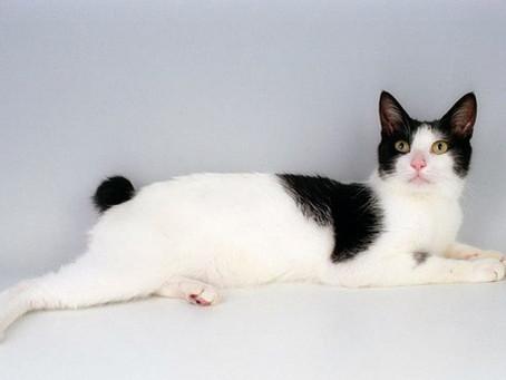 Mengenal Kucing Japanese Bobtail, Ras Kucing Terunik Berekor Pendek