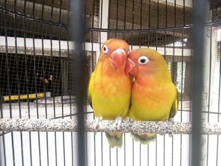 Jenis Burung Lovebird Yang Banyak Diincar Para Pecinta Burung!