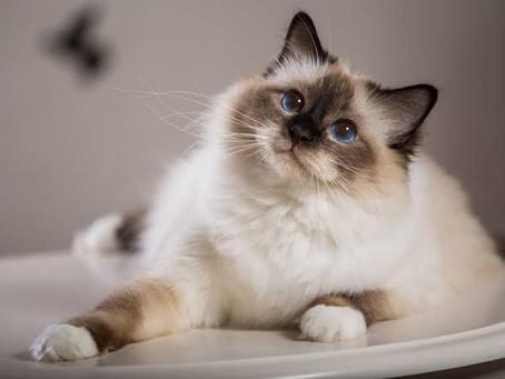 """Mengenal Ras Kucing Bali """"Balinese"""", Apakah Benar Berasal Dari Bali? Penasaran? Simak Yuk"""