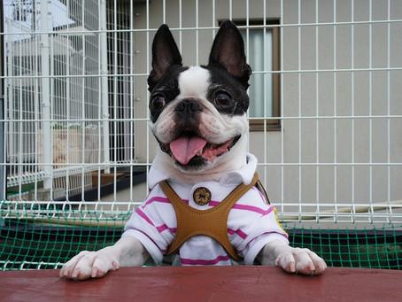 Fakta Sejarah, Ciri, dan Keunikan Anjing Boston Terrier