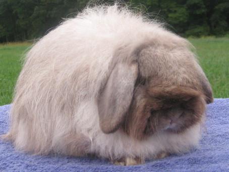 Karakteristik dan Cara Merawat Kelinci Fuzzy Lop