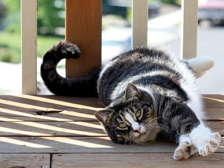 Sejarah, Karakter, Ciri Dan Tips Perawatan Kucing American Shorthair Yang Perlu Diketahui Sebelum Me