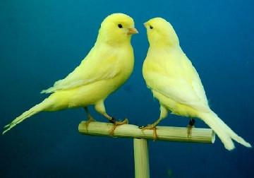 Kenari Kalitan, Burung Unik Dengan Kicauan Merdu Mempesona
