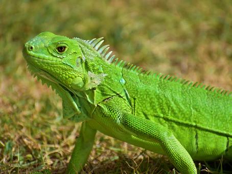 Tips Merawat Iguana Hijau di Rumah Agar Tumbuh Sehat
