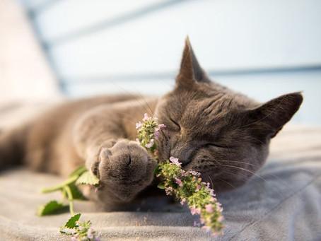 Inilah Alasan Mengapa Kucing Sangat Menyukai Catnip