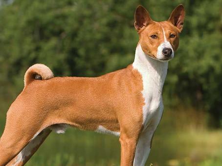 Sejarah & Keunikan Anjing Basenji 'Anjing Tanpa Gonggongan'