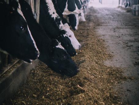 Amoniasi Jerami Padi Untuk Pakan Ternak