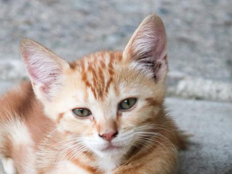 Ini Dia 5 Nutrisi Penting Makanan Anak Kucing Kampung