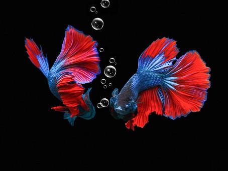 9 Jenis-Jenis Ikan Cupang Untuk Hiasan dan Aduan Terbaik 2021