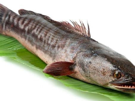 Budidaya Pembesaran Ikan Gabus Dalam Kolam Terpal