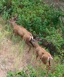 territorial bucks!
