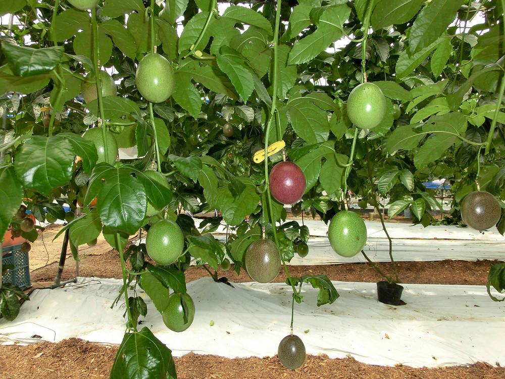 収穫前のパッションフルーツ。