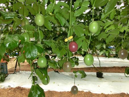 沖縄情熱農園 パッションフルーツ 出荷始まりましたよ〜!