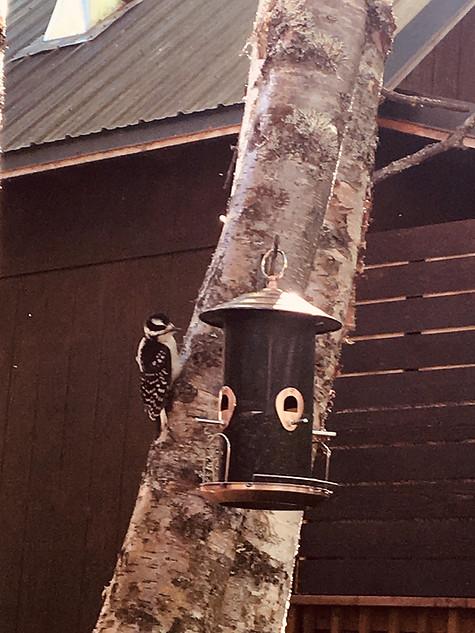 woodpecker on birdfeeder