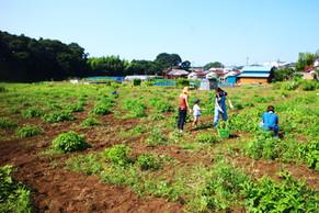 真夏の炎天下のなか、藍畑のお手伝いに来て頂きました!!