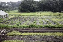 藤沢市菖蒲沢でお手伝いしている藍の畑