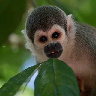 An Ecuadorian Squirrel Monkey (Saimiri c