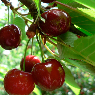 Ripe 'n' Ready Cherry Farm 2.jpg