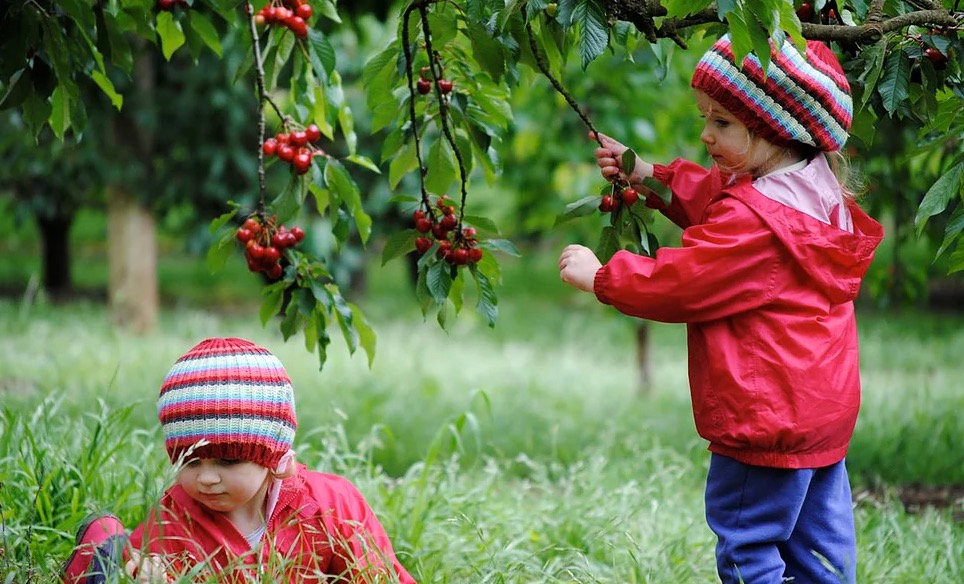 Ripe N Ready Cherry Farm Pick Your Own.j