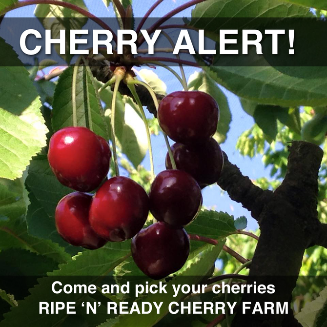 Cherries Are Now Availble For Picking
