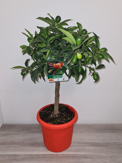 Kumquat pot de 20cm hauteur 80/90 (ref : m47041)