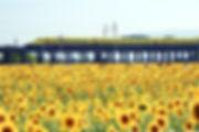 gifu-Ogaki_Sunflower_Field_in_Hira-machi