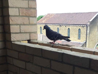 Snagging inspections London - roosting pigeon delays construction