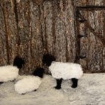 barnboard sheep.heic