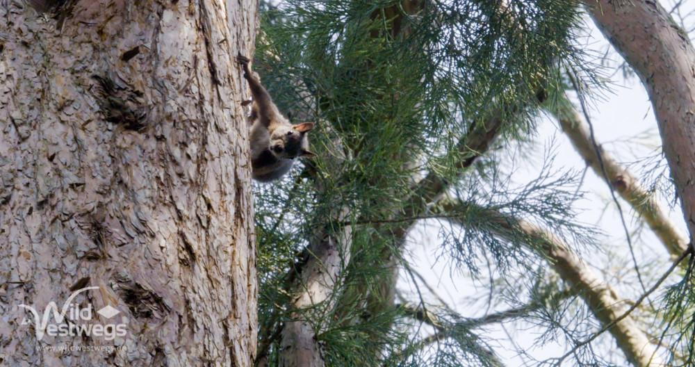 Eichhörnchen am Mammutbaum