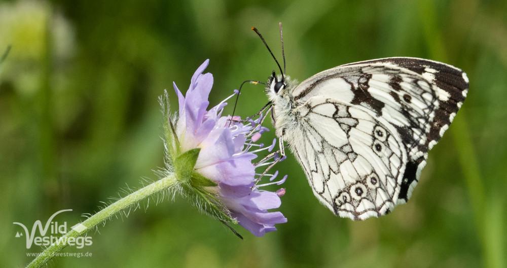 Schachbrettfalter (Schmetterling des Jahres 2019)