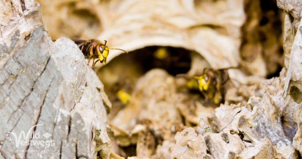 Hornissennest im Totholz