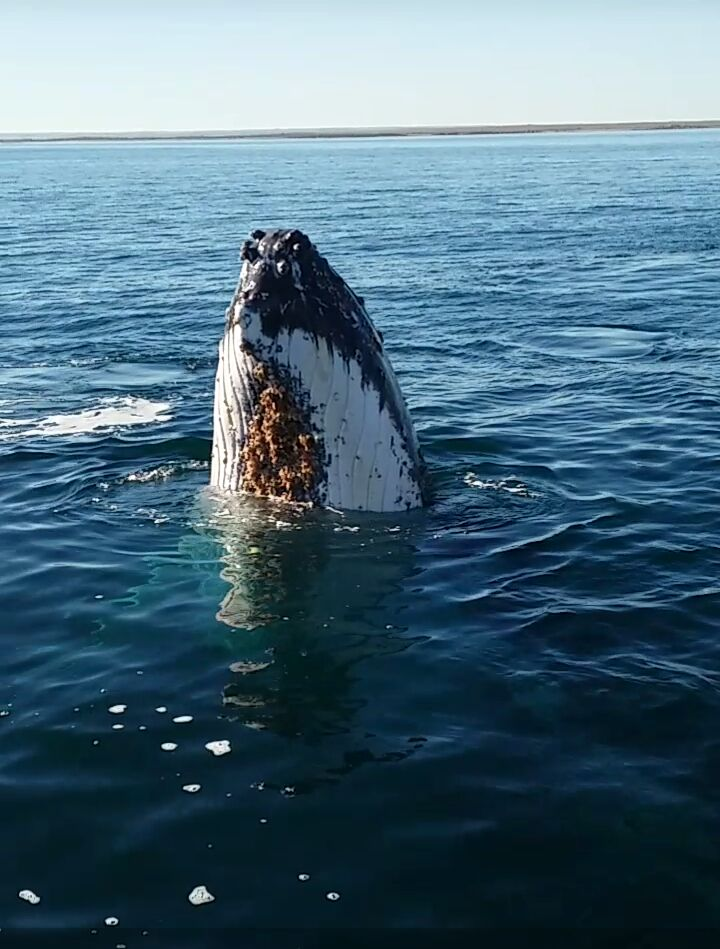 Whale 2 km off Point Pearce