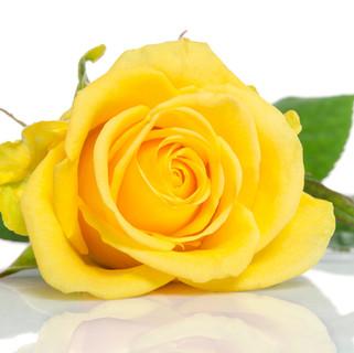 yellow-rose-isolated-white.jpg